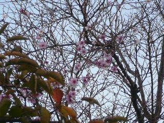 10月28日撮影 秋の桜.jpg